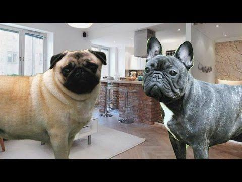 French Bulldog Vs Pug 101 Dog Items Dogs Pugs
