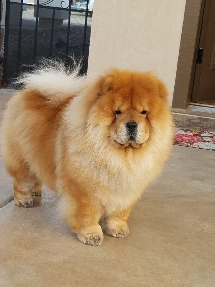 Chow Chowchowdog Chow Chow Dogs Chow Chow Cute Dog Pictures