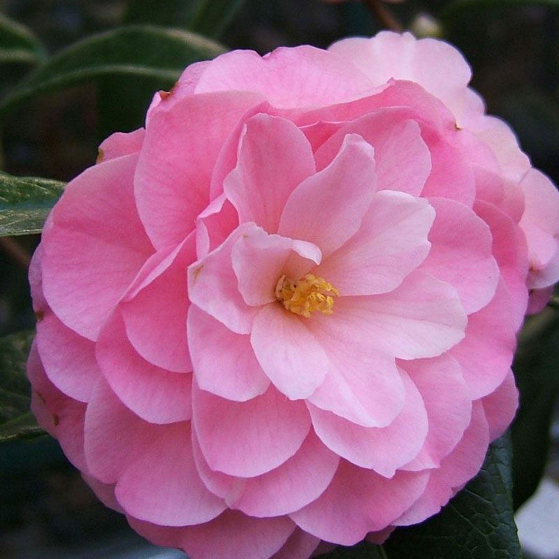 Camellia Hybrids And Species Flowers Planting Shrubs Camellia Tree Flowers