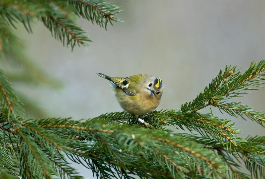 The Goldcrest is the UK's smallest bird. Their thin beak is used to pick insects out from pine needles #RealTweetWeek