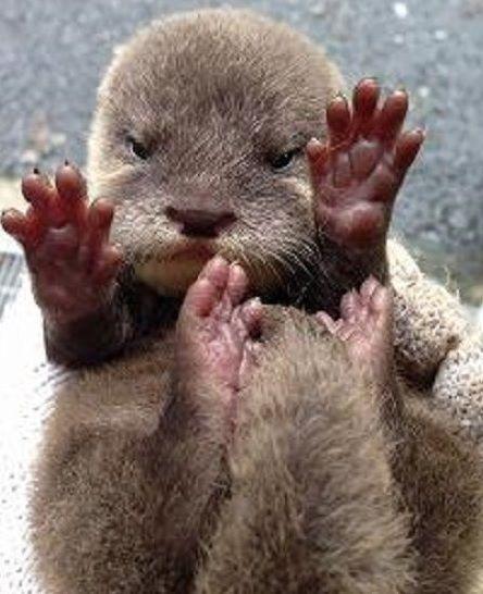 super cute baby otter sea otter amp giant otter