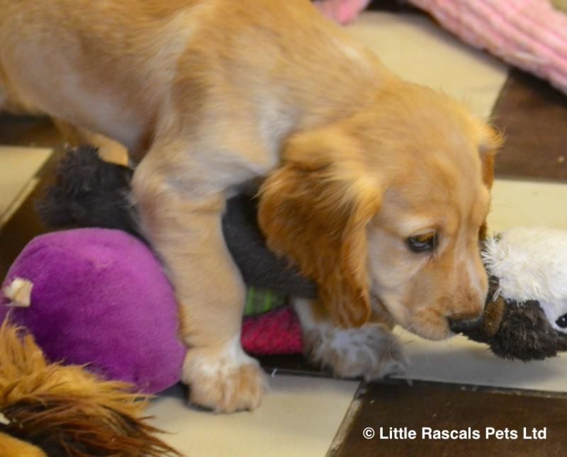 Lively Cocker Spaniel Puppies Pedigree Puppies For Sale