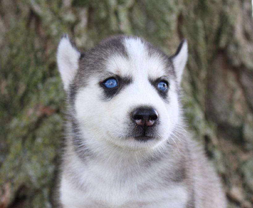 Jayla Female Miniature Pinscher Pup For Sale Near Woodburn