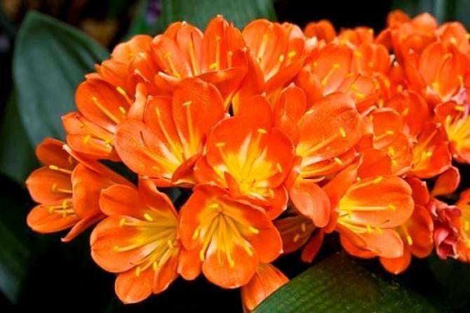 Pieknie Kwitnaca Kliwia Zasady Uprawy Dla Poczatkujacych Orange Wedding Flowers Orange Blossom Flowers