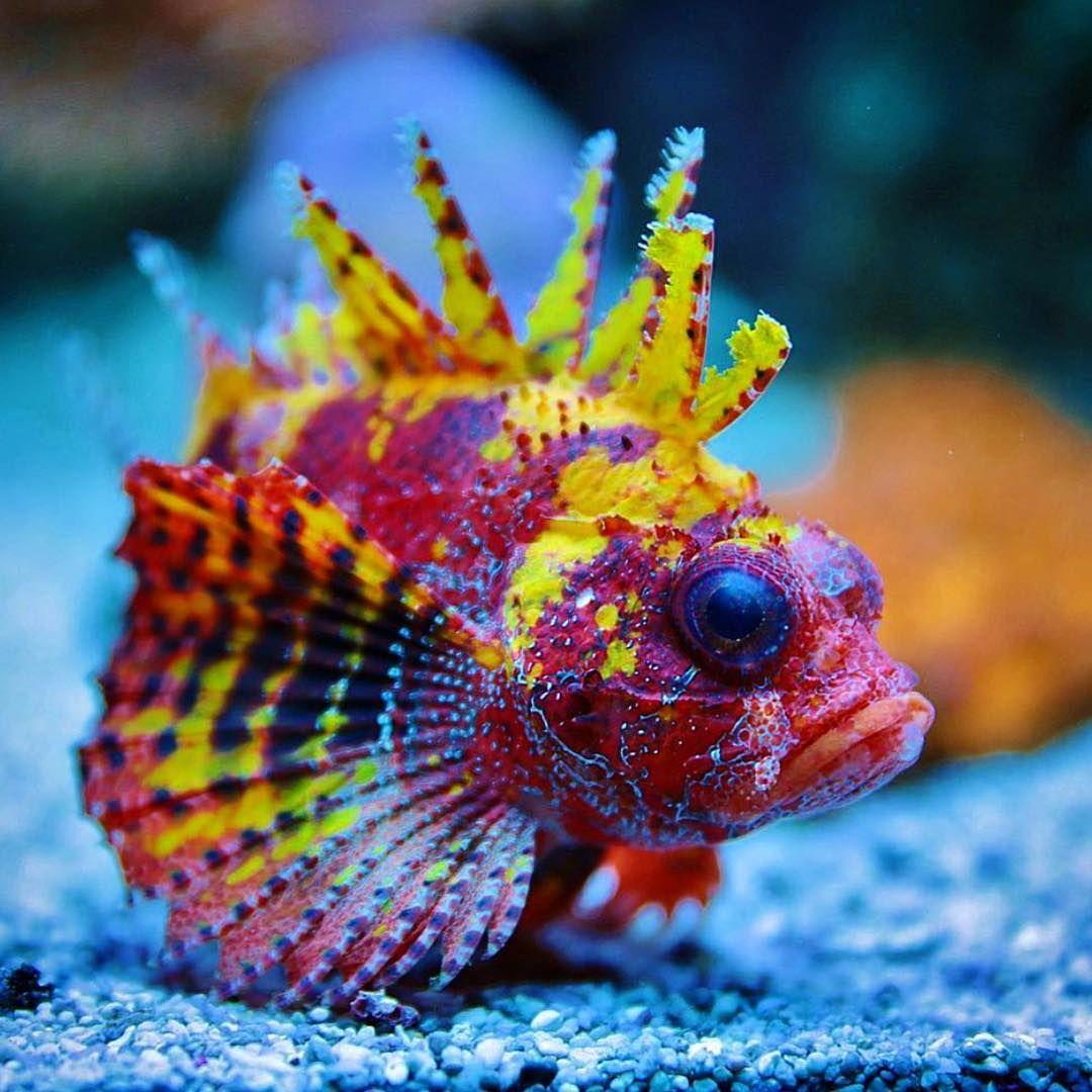 2 069 Likes 27 Comments Danny S Aquariums Dannysaquariums On Instagram Yellow Fuzzy Dwarf Lionfish I Ve Actually Kept A Fuzzy Dwarf Lionfish A Long Tim