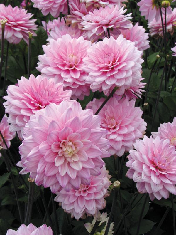 Dahlia Karma Prospero Google Search In 2020 Dahlia Flowers Flower Garden