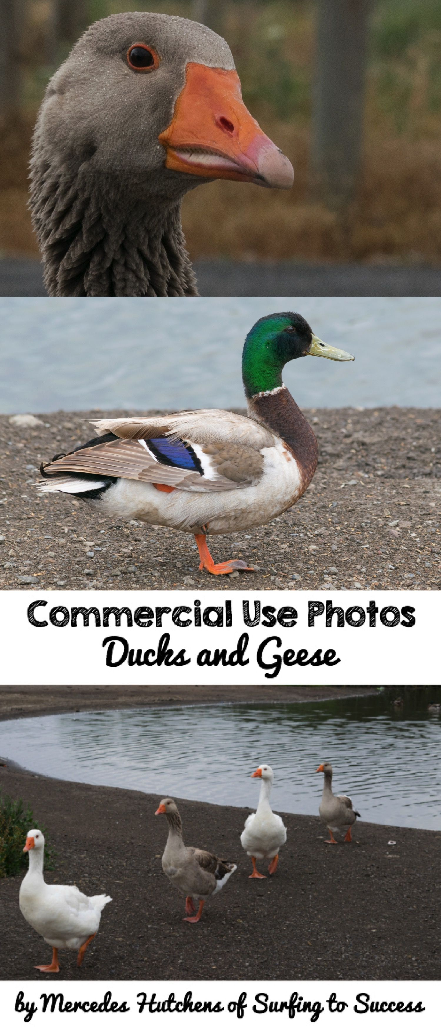 Ducks And Geese With Images