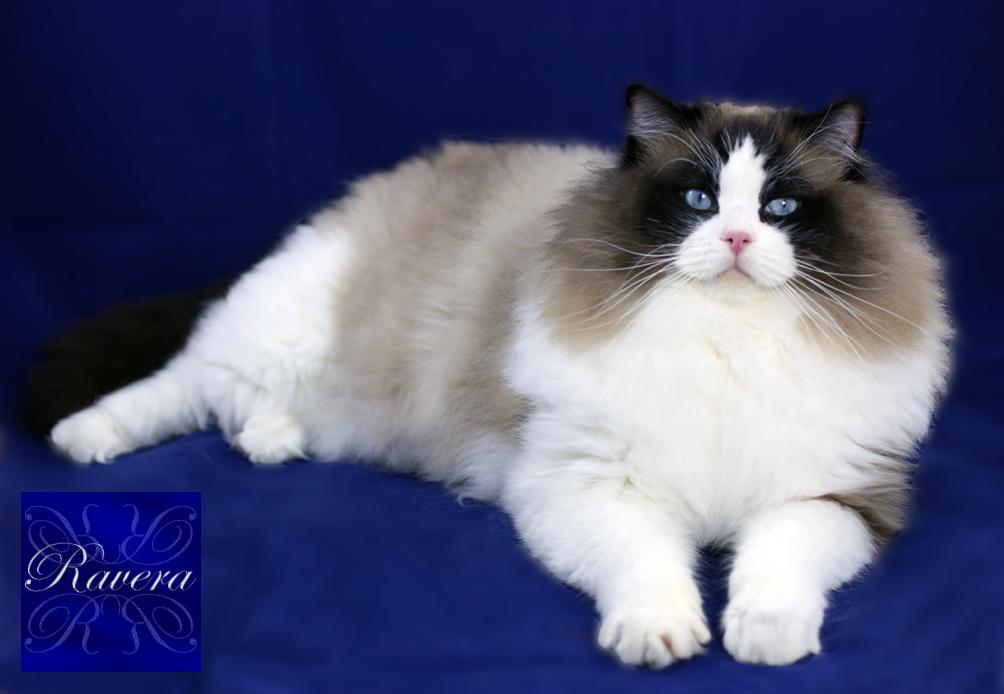 Ravera Diesel Seal Bicolour Adult Ragdoll Ragdoll Cat White