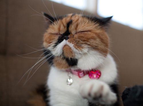 Japanese cat.