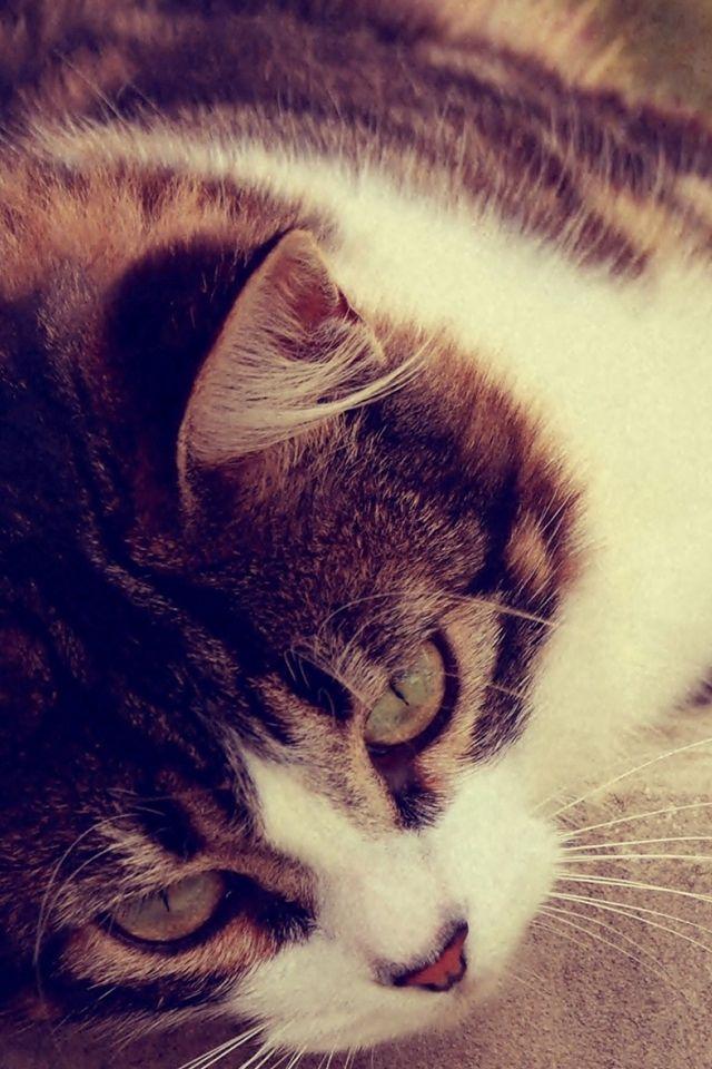 Cat Striped Lying Grass Glare Sunlight Iphone 4s Wallpaper