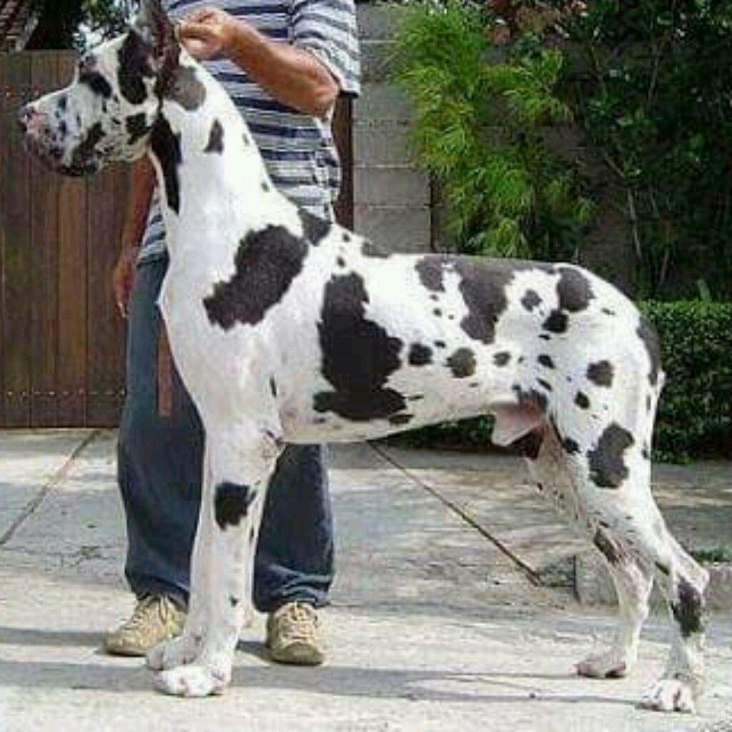 Great Great Dane Great Dane Puppies