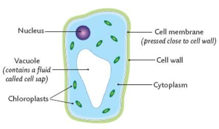 Biology 10 The Plant Kingdom Introduction Cell Membrane English Word Book Plant Cell Diagram