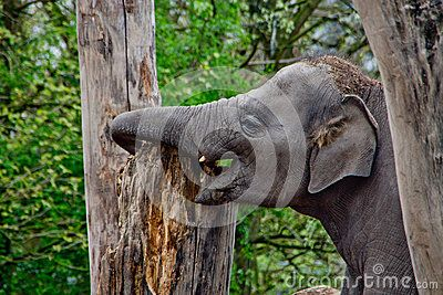 Baby Elephant playing with tree trunk