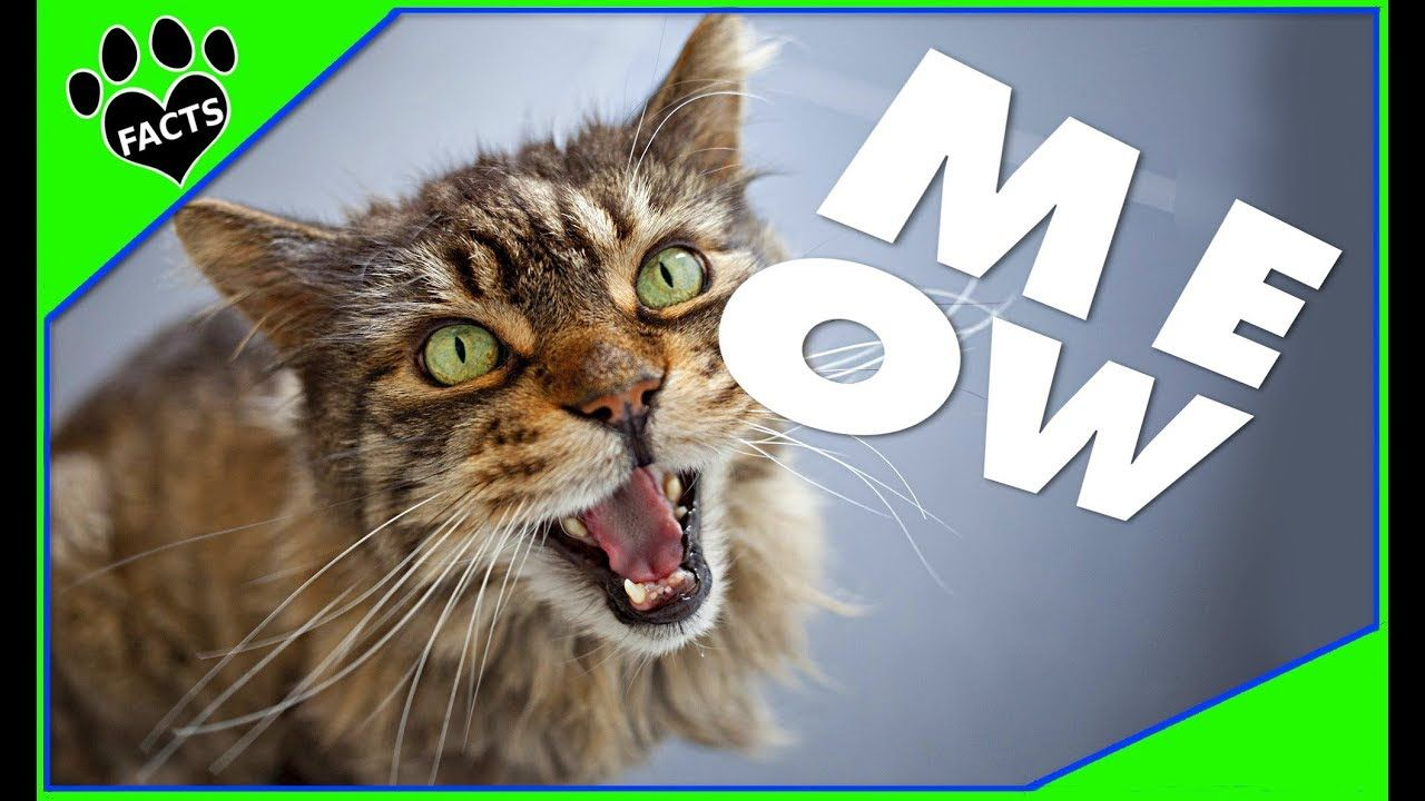 Why Does My Cat MEOW So Much? Animal Facts Animal