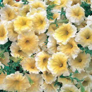 Horizon Yellow Petunia Seeds Petunia Flower Petunias Flower Seeds