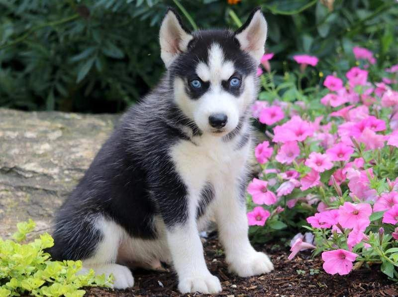 Chad Siberian Husky Working Dog Breed Akc Siberianhuskypuppy