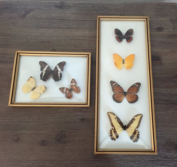 Vintage framed curved glass mounted butterflies real by speckadoos