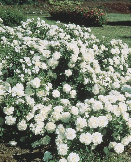 Roses In Garden: Another Profuse Blooming Hedge Or