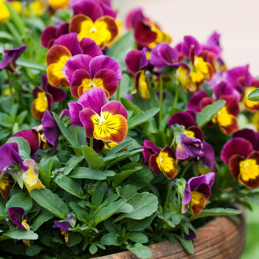 17 best plants for cool season color gardens terraria and plants