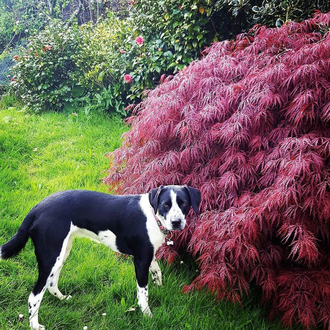 We've got a few Japanese Maples in our garden and I think their probably my favourite tree. The colour of their leaves is just specular. . . . #springinireland #gradientlove #dogsofinstagram #twitter