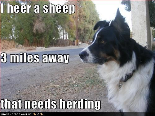 Happy Birthday Fredgina!!!! | Sheep:) | Border collie humor