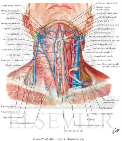 Superficial Veins And Cutaneous Nerves Of Neck Neck Health Pinterest