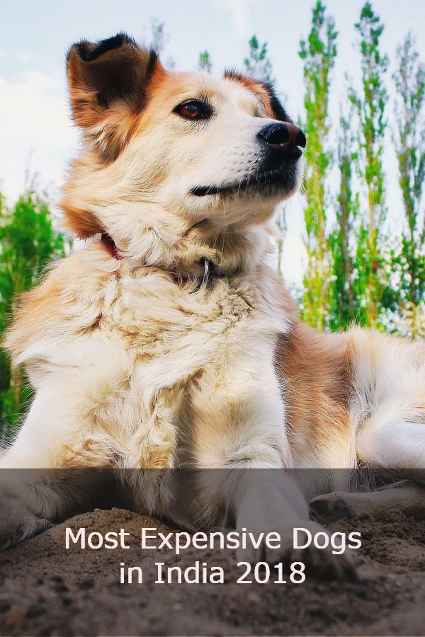 Most expensive breeds of dogs in India 2018 Expensive