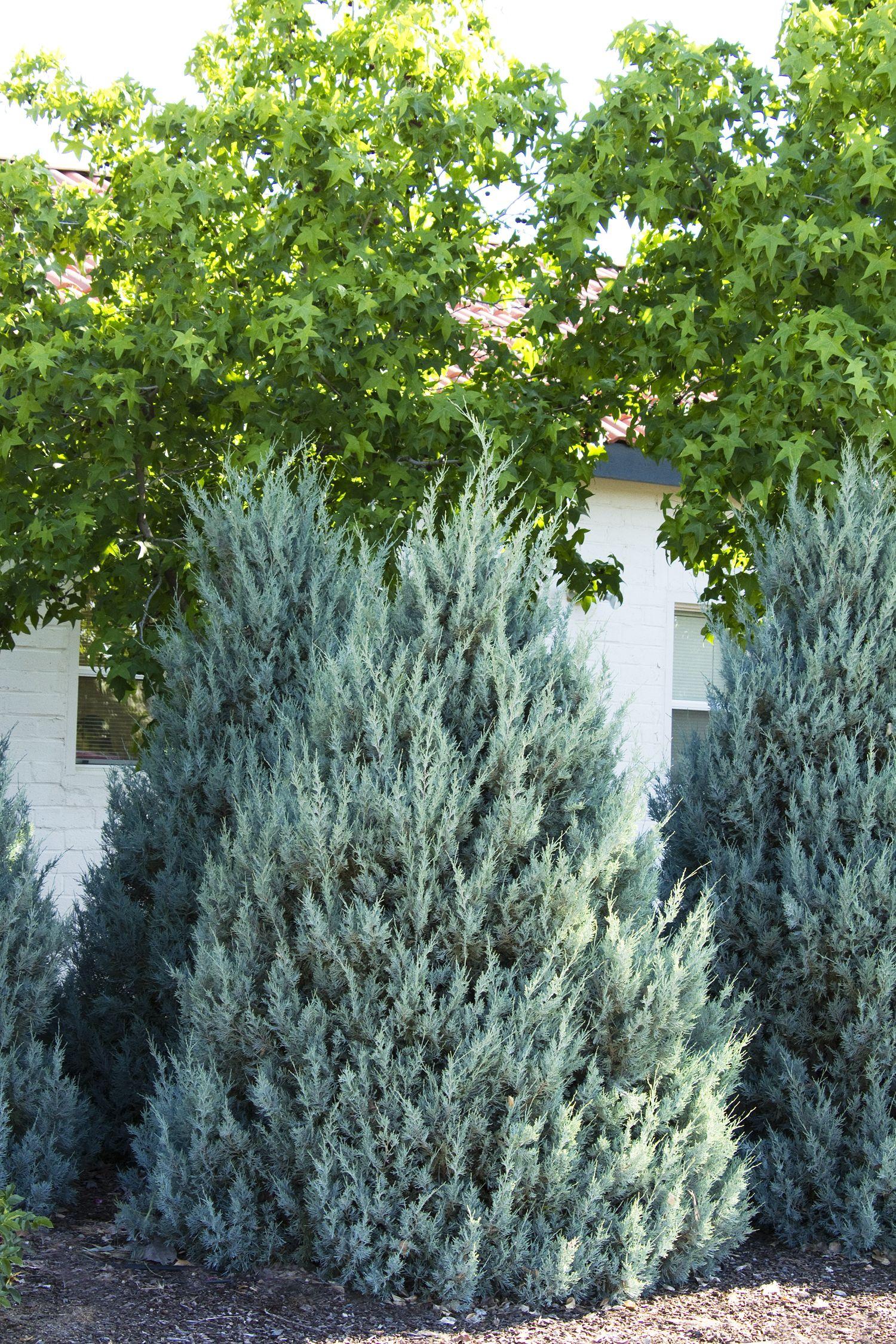 wichita blue juniper - monrovia