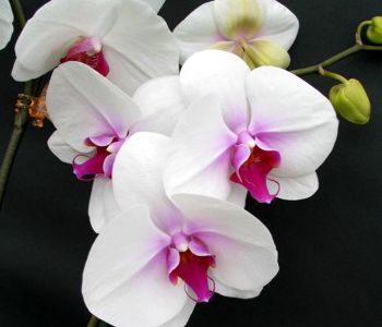 Lipstick Kissed Butterfly Orchid Gift Beautiful Large White Flowers With Nice Deep Red Lip With Proper Care Orchid Plant Care Orchids Phalaenopsis Orchid