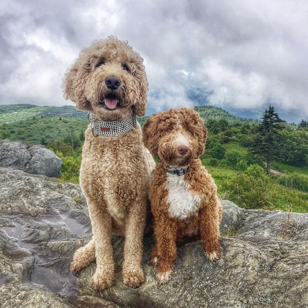 Dogs Goldendoodle Puppies Cutedogs Indythegoldendoodle
