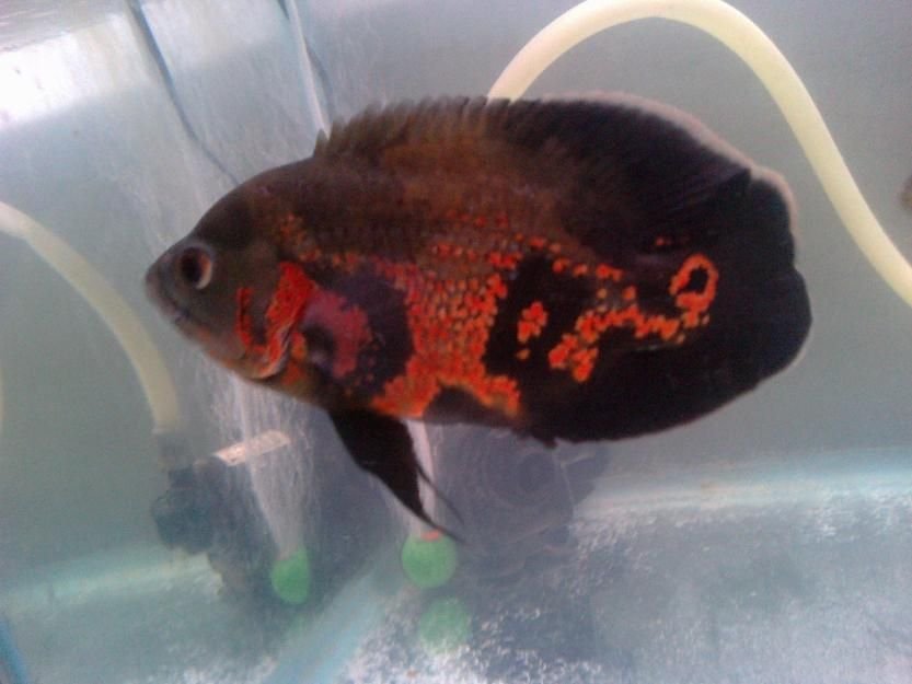 Singapore Imported Tiger Oscar For Sale Fishspot In Barasat Oscar Fish Tiger Oscar Fish Fish
