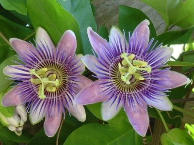 How To Harvest Consume Passion Flower Passion Flower Passion Flower Tea Flower Care
