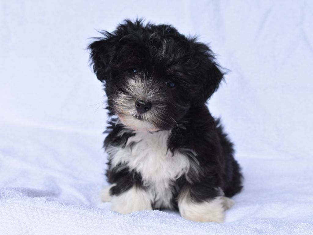 Tiny Now Perfect Puddles Will Grow To Be A Lovely Black And White Boy And Is Already A Handsome Havanese Havanese Puppies For Sale Havanese Havanese Puppies