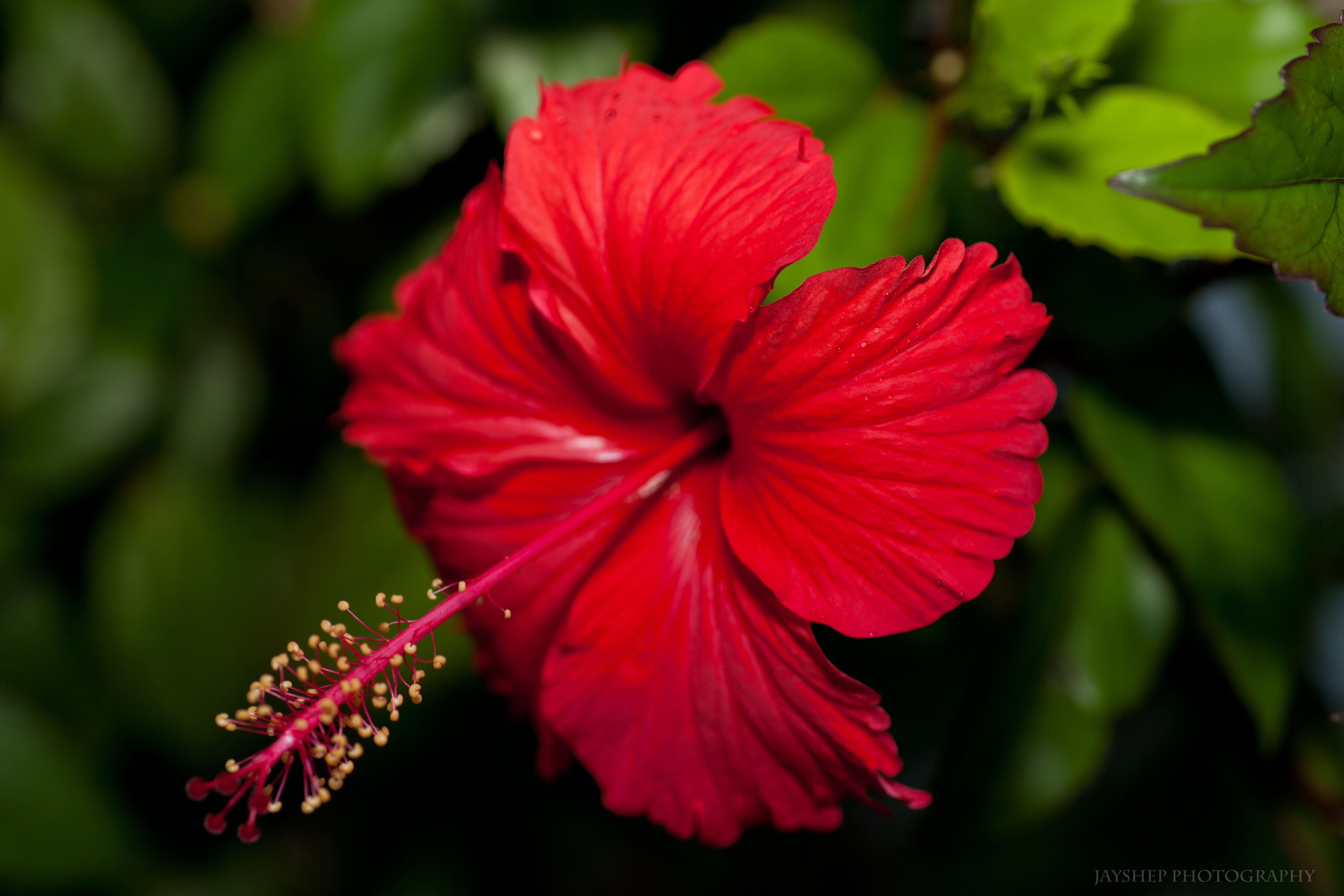 Pictures of puerto rico the hibiscus puerto ricos national pictures of puerto rico the hibiscus puerto ricos national flower izmirmasajfo Choice Image