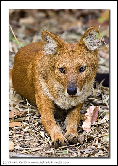 Animals From India wolf dhole indian wild dog bandhavgarh india