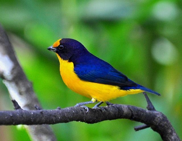 exotic birds wiki
