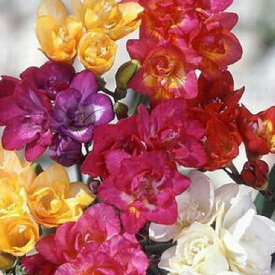 Freesia Bulbs Double Form Mix Easy To Grow Bulbs Flowers Bulbs For Sale