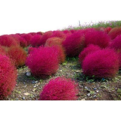I'd feel like I live in a Dr. Seuss book if these were in my yard.  But they are so pretty! // Kochia Scoparia Seeds evergreen foliage plant for landscapes. Position: full sun/part shade Soil: Any soil Rate of growth: rapid ~ Hardiness: fully hardy Height: 15 to 36 inches Native: Europe, Asia and Australasia. Growing Region: Zones 2 to 10. Flowers: Summer. Flower Details: Light green, white. Hairy flowers Foliage: Green through to red!