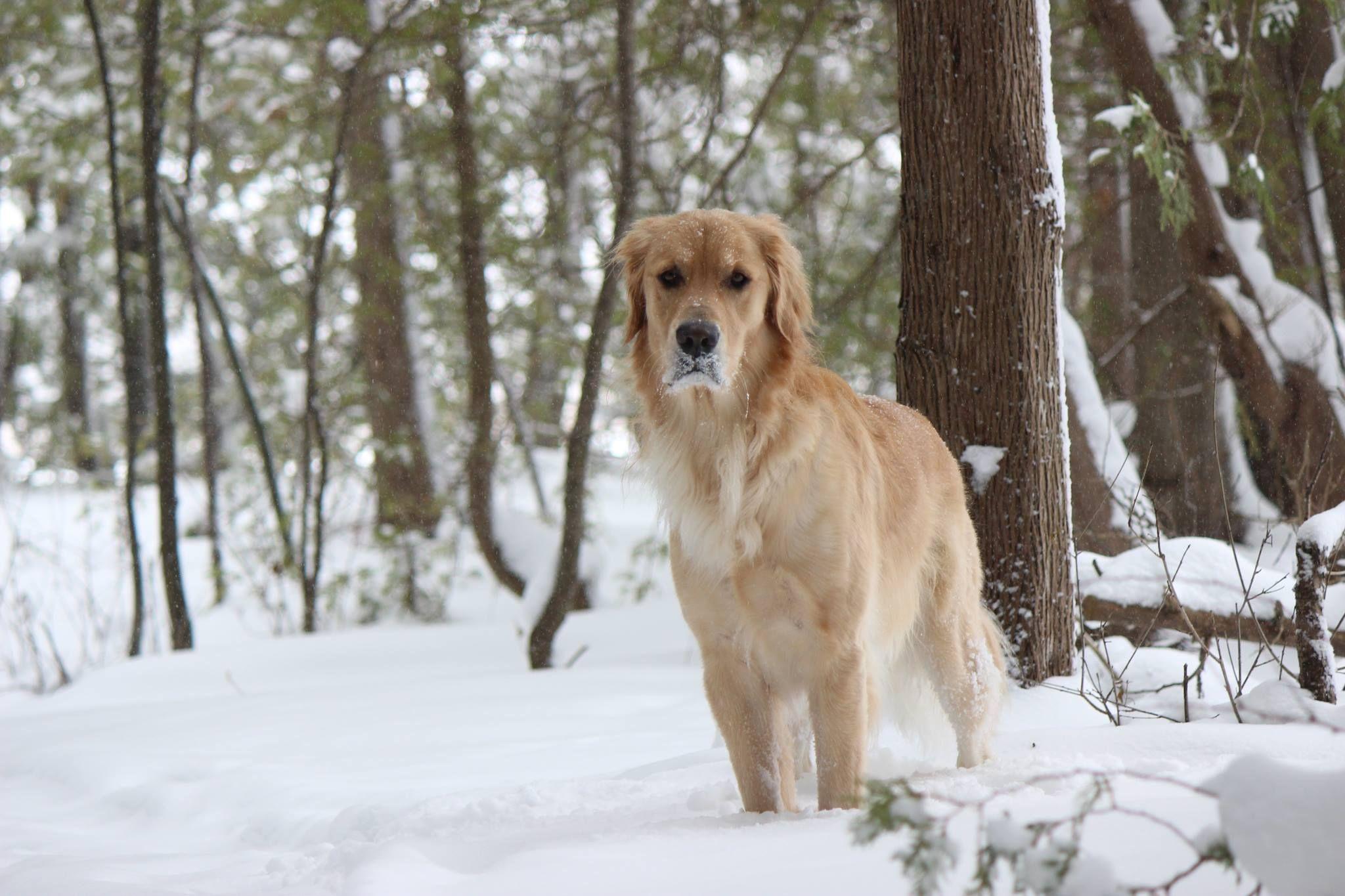 Beautiful Ryder Golden Retriever Labrador Retriever Retriever