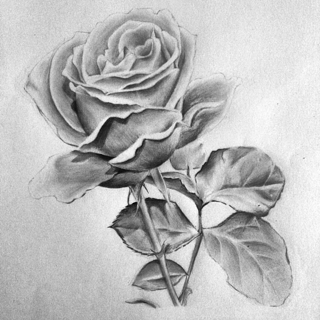 Beautiful Rose Pencil Drawing Flower Drawing Roses Drawing Flower Art