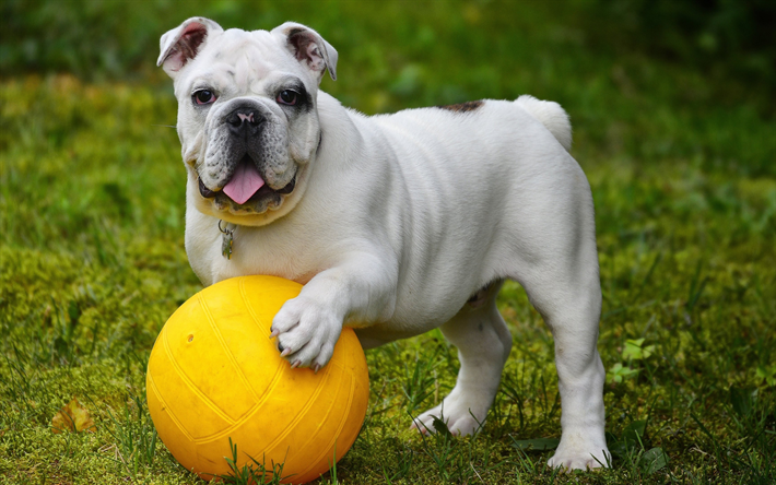 Download Wallpapers English Bulldog 4k White Puppy Small Dog Yellow Ball Besthqwallpapers Com Most Popular Dog Breeds Dog Breeds Best Dog Breeds