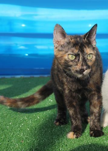 BECKET - Gato adoptado - AsoKa el Grande