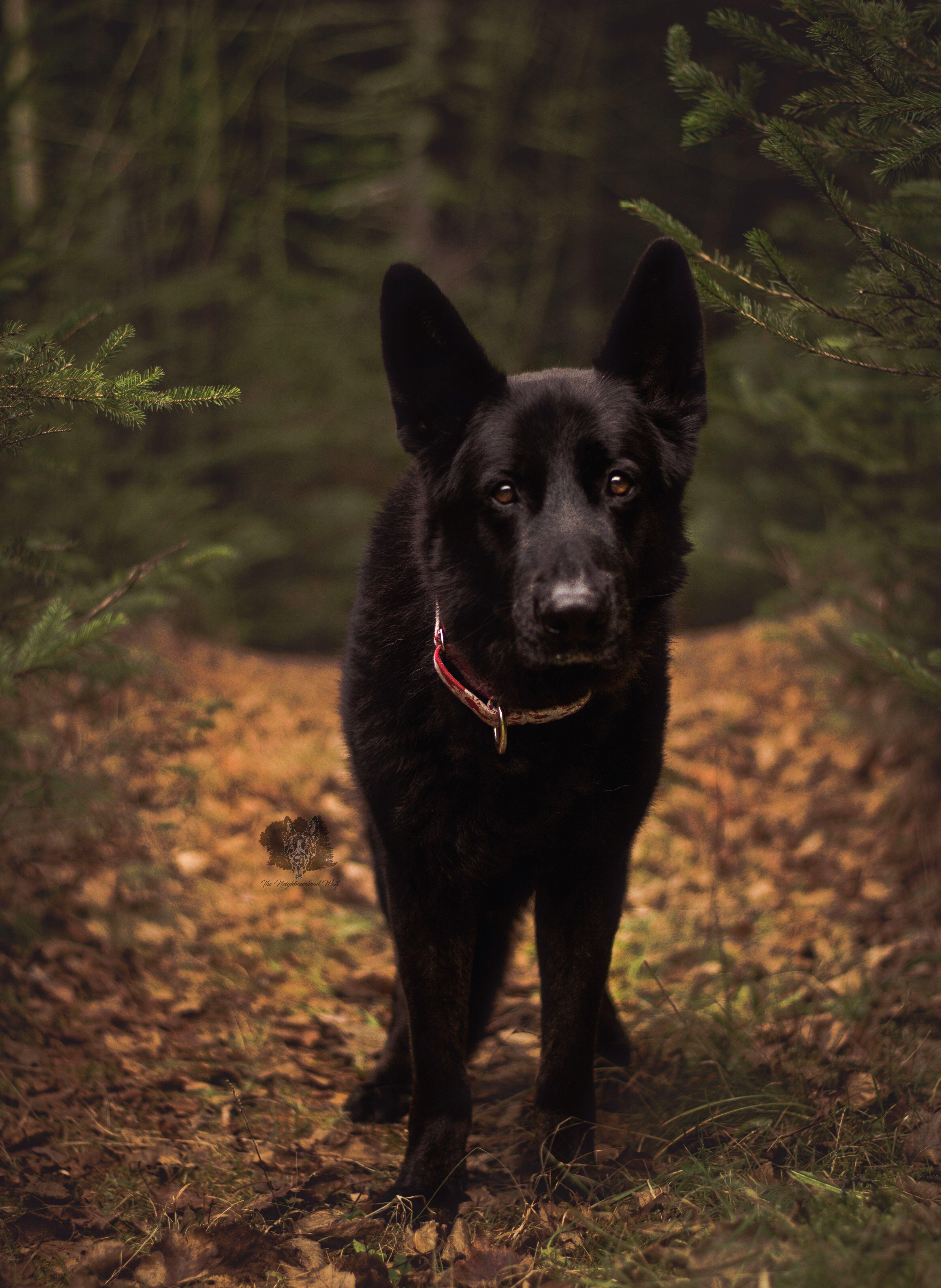 Beautiful Black German Shepherd Black German Shepherd German