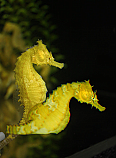 Mated Pair Color Lined Seahorses Seahorse Painted Rocks Color Lines