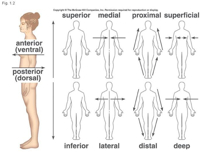 Anatomical Directions Medial Lateral Thebody As A Whole The Big