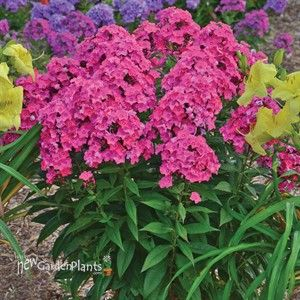 Glamour Girl Tall Phlox With Images Phlox Flowers Plants