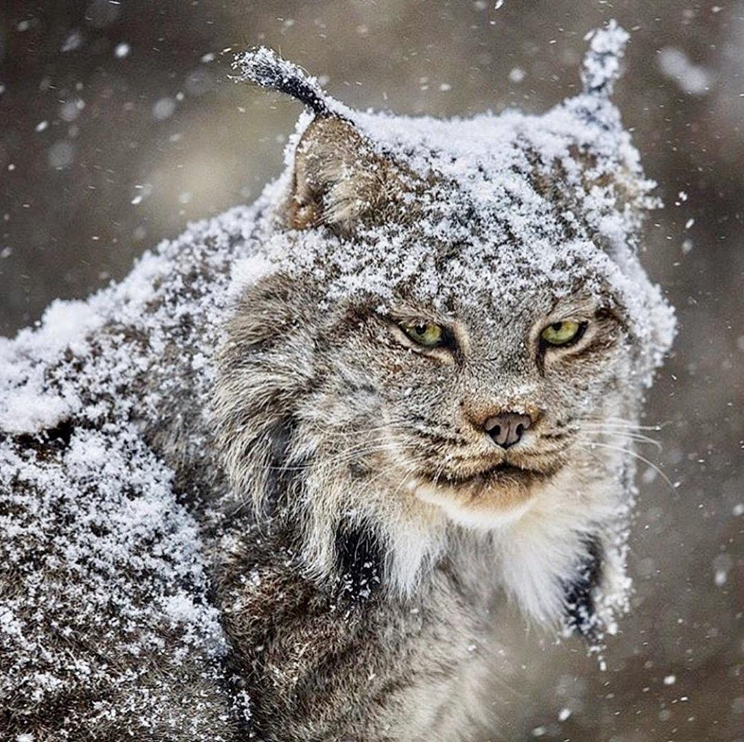 Majestic lynx with majestic ear tufts Animals wild
