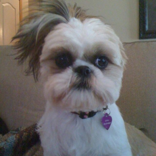 Side Pony With Images Shih Tzu Puppy Cute Animals Side Pony