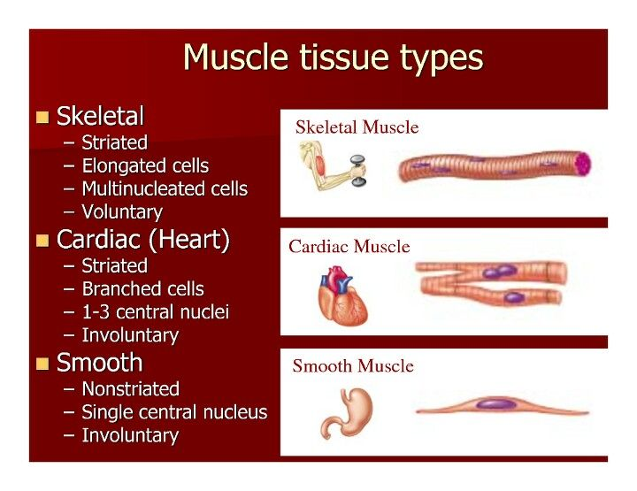 Muscle Tissue Types Anatomy Physiology Pinterest Science