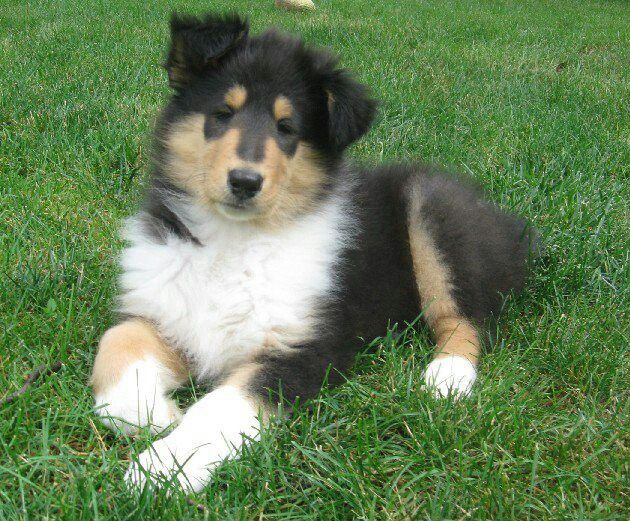 Tri Color Collie Pup